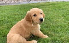The Golden Retriever